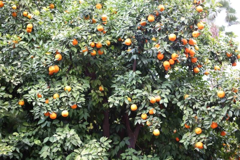 Orangen Marrakech